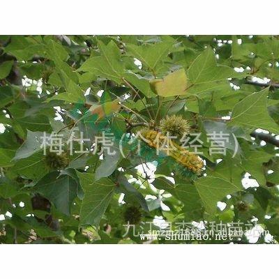九江醉香含笑苗木