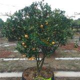 果树桔子椪柑容器苗各规格