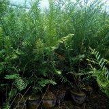 1-5公分红豆杉小苗