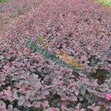 红花继木小苗,红花继木扦插苗,红花继木价格