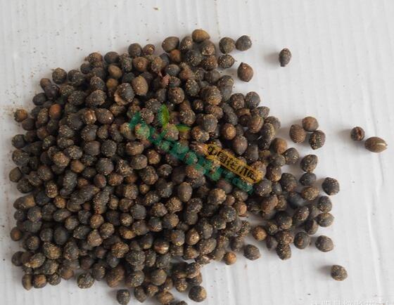红豆杉种子,红豆杉种子批发