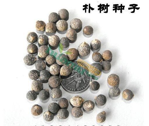 朴树种子,朴树种子报价,朴树种子批发