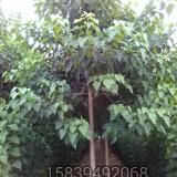 8公分楸树