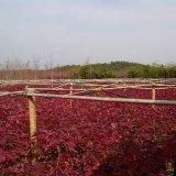 夕阳红(美国红枫)3公分