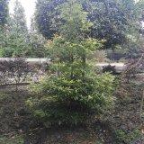 出售金丝楠木