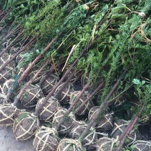 南方红豆杉地径2公分绿化苗