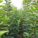 柿子树苗,柿子树苗价格,柿子树苗供应