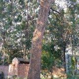 榔榆 古树