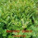 基地直供花椒苗|花椒大红袍苗|花椒苗价格