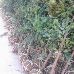 地径3公分红豆杉