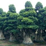嫁接景观造型提根小叶榕桩头盆景绿化树