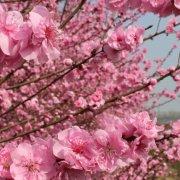 粉红观花桃