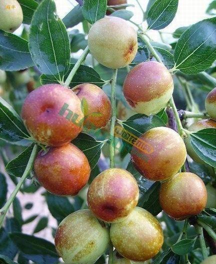 龙枣 枣树