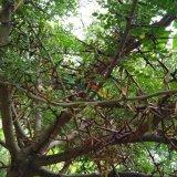 200高皂角树