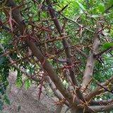 110高度皂角树