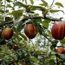 红香酥梨,红香酥梨苗的价格