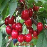 樱桃苗  樱桃树苗  矮化樱桃苗 当年结果的樱桃苗