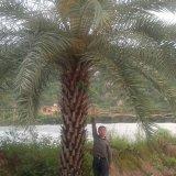 中东海枣杆高2米