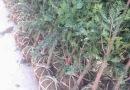 红豆杉地径4公分绿化苗