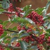 基地常年供应花椒苗各种规格果树苗