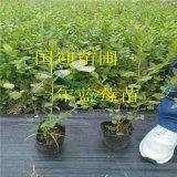 一年蓝莓苗