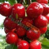 樱桃树苗 大红灯樱桃树苗 1公分以上樱桃苗