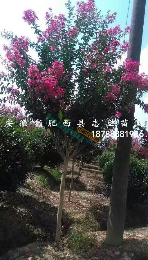 安徽红花紫薇 肥西紫薇 大量处理