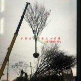 安徽合肥肥西大型榉树基地