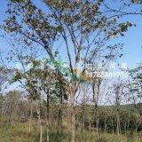 肥西大型巨紫荆基地规格10-15cm 1000颗出售