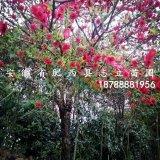肥西大量红叶碧桃 青叶碧桃 红叶桃 低价供应处理