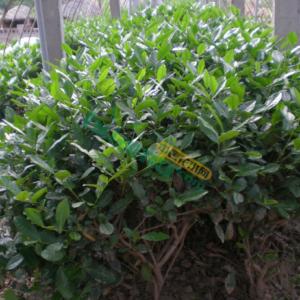 花木首页 全部分类 绿化苗木 常绿灌木 茶花 > 茶树茶花