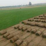 黑麦草 草坪