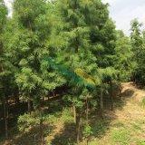 6-7公分池杉