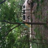 12公分红榉树