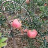 1-2年突尼斯软籽石榴苗