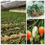 草莓苗基地 供应批发 法兰地草莓苗