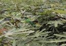 无花果苗  规格品种齐全 当年结果 两年丰产