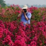 红火球紫薇小苗、红火箭,天鹅紫薇