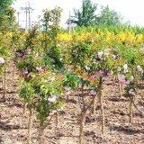 河北石家庄苗圃基地园林绿化樱花树