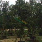10公分黄花风铃木种植基地