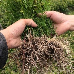 35公分南方红豆杉小苗