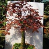 老桩日本红枫盆景