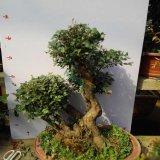 老桩小叶赤楠盆景