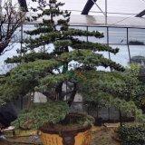 造型五针松盆景