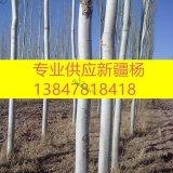 新疆杨 杨树 22公分