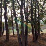 3米骨架朴树35公分