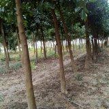 出售各种规格香泡树