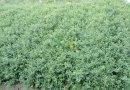 刺梨苗基地  原生态刺梨
