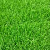果岭草混播草坪