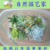 常见多肉植物快餐盒套餐12种多肉包邮黄丽观音莲等